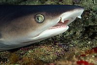 A close look at the front end of a whitetip reef shark,  Triaenodon obesus, Hawaii
