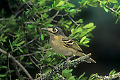 Black-capped Vireo (Vireo atricapillus) adult female, Texas, USA