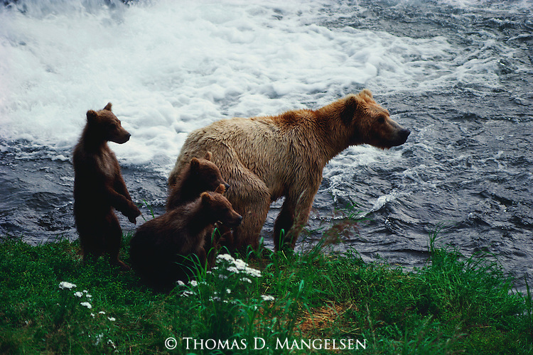 Brown bear and three cubs stand on river bank watching the salmon run.