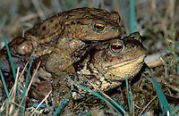 Common Toads in amplexus (Bufo bufo), Switzerland