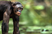 Bonobo female portrait (Pan paniscus), Lola Ya Bonobo Sanctuary, Democratic Republic of Congo.