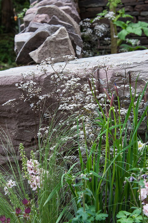 Purple cow parsley (Anthriscus sylvestris 'Ravenswing'), The Un Garreg (One Stone) Garden, designed by Harry and David Rich, Artisan Garden Gold medal winner, RHS Chelsea Flower Show 2013.