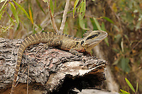 Eastern Water Dragon (Physignathus lesueurii),  Queensland, Australia