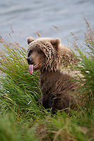 Brown bear (Ursus arctos) with tongue sticking out at waters edge, Katmai National Park, Alaska.