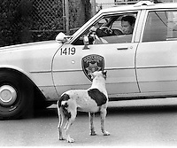 Oakland .Ca police officer eyes a pit bull who was <br />frunning loose, razing hell in a neighborhood on 8th Ave. 1986 (photo/Ron Riesterer)