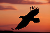Bald eagle in flight at sunset