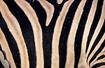 Burchell's zebra skin, Equus burchelli, South Africa