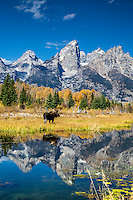 A bull moose pauses to cast his reflection onto the reflection of the Grand Tetons in a beaver pond in Grand Teton National Park