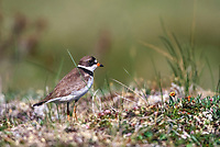 Semipalmated Plover on tundra in Denali National Park, Alaska