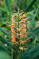 Hedychium x 'Kewense'