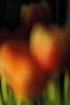 Tulip macro photography