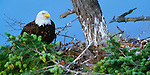 Bald eagle on nest, Orcas Island, Washington