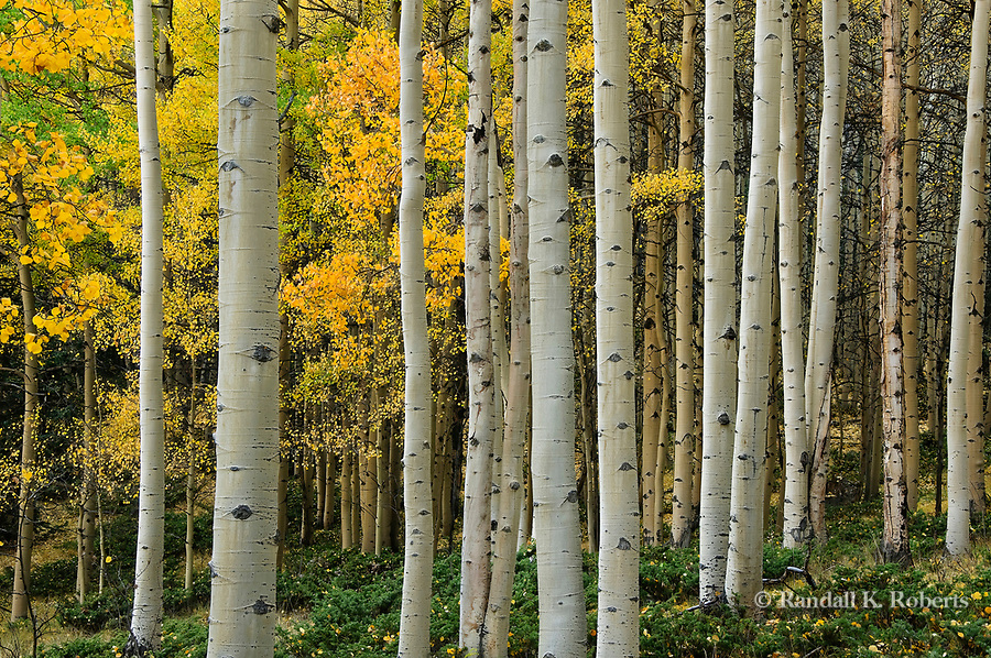 Aspens show their autumn colors, Uncompahgre National Forest, west of Lake City, Colorado