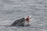 Leopard Seal chewing at a Penguin to strip away the feathers because they often eat only the breast muscles, Antarctica.