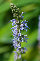 Salvia nemerosa 'Crystal Blue'