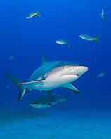 Caribbean Reef Sharks, Carcharhinus perezi, and Yellowtail Snappers, Ocyurus chrysurus, West End, Grand Bahamas, Atlantic Ocean