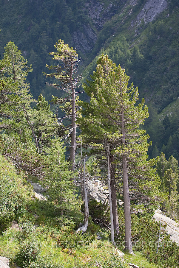 Zirbel-Kiefer, Zirbelkiefer, Zirbel, Arve, Pinus cembra, Arolla Pine, Swiss Stone Pine