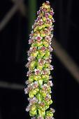 Arrrowgrass (Triglochin maritima), Sierra Nevada Range, California, USA