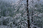 Snow-covered pine tree, winter, Sitgreaves National Forest, Arizona