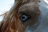 Wild blue-eyed Shoshone, a handsome mare with the Catnip herd that was bred for the US Calvary in the 1800s.  The wild herd consists of many palomino and paints. <br />