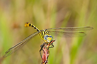 389860005 a wild female flag-tailed spinyleg dromogomphus spoliatus a large odonate perched on a small plant at hornsby bend in austin texas