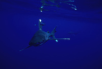Oceanic whitetip sharks, Carcharhinus longimanus, are often accompanied by small pilot fish.  Hawaii.