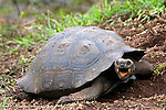 South America, Ecuador, Galapagos, Santa Cruz Island. Galapagos Tortoise with mouth open.
