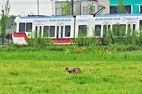 Coyote and MAX Lightrail in NE Portland, Oregon