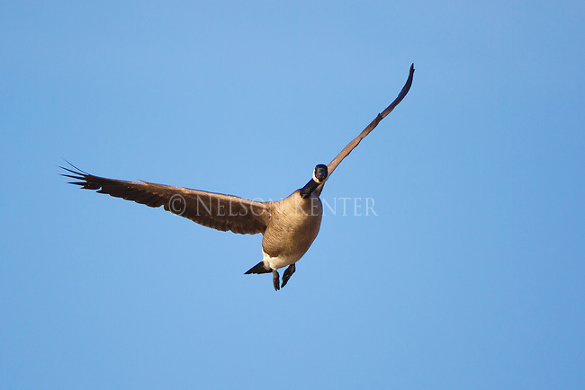 Canada Goose flying on a blue sky morning in Montana