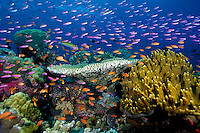 Tropical coral reef, Fiji, Pacific Ocean