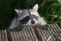 "Waschbär, etwa 6 Monate altes Jungtier klettert an einem Steg empor, Männchen, Rüde, Waschbaer, Wasch-Bär, Procyon lotor, Raccoon, Raton laveur, ""Frodo"""