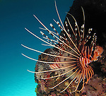 Kenting, Taiwan -- A spotfin lionfish, Pterois antennata, against the blue ocean surface.