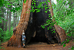 Man hiking in the South Grove of Calaveras Big Trees State Park