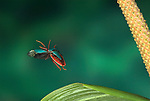 Shield Bug in flight, Family: Pentatomidae, Costa Rica, High Speed Photographic Technique, flying, green, red, tropical jungle.Costa Rica....