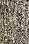 Bark pattern of California Bay tree (Umbellularia californica)