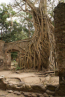 Giant strangler fig tree in the ruined custom house or Casa de Cortes in La Antigua, Veracruz, Mexico. The village of La Antigua dates back to 1523. Hernan Cortes reportedly scuttled his ships here before marching inland to conquer the Aztecs.