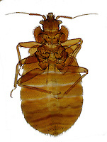 ECTOPARASITE<br /> Bedbug, Cimex lectularius, LM 20x mag<br /> Bedbugs feed on human blood and are typically active in the hours just before dawn. Ectoparasites live outside the body.