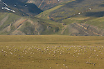 The broad slopes of the Brooks Range easily support the huge numbers of caribou that browse the sedges and lichens.