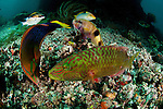 Wrasses, breams and other digging, scavenging fish.