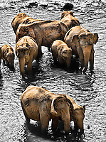 Families of elephants cooling off in the river. (Photo by Matt Considine - Images of Asia Collection)