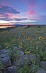Prairie sunflowers (Helianthus petiolaris) bloom at sunset along Mormon Lake near Flagstaff, Arizona
