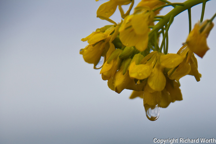 A raindrop from an early morning shower dangles from a field mustard flower.