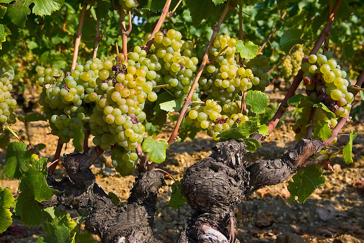 Grape vine, Preignac, Sauternes region of France. The vineyard is in the grounds of the Chateau de Malle.