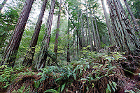 Redwood Forest - Muir Woods