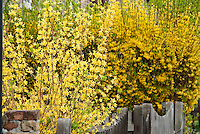 Two colors of forsythia spring flowering bushes in yellow bloom side by side next to fence, hedging