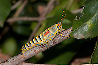 Colorful African Grasshopper