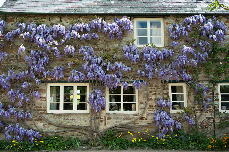 Wisteria-clad cottage, Rousham House and Garden