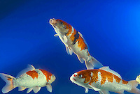3 three Koi fish tropical oriental fish feeding