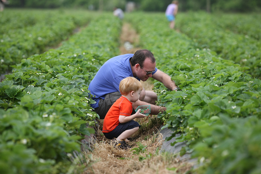 Strawberry picking at Chiles orchard in Crozet, Va.