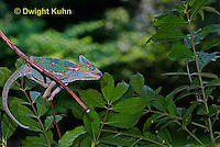 CH38-542z Female Veiled Chameleon tongue flicking to catch insect prey, Chamaeleo calyptratus, for sequence see CH38-546z and CH38-547z